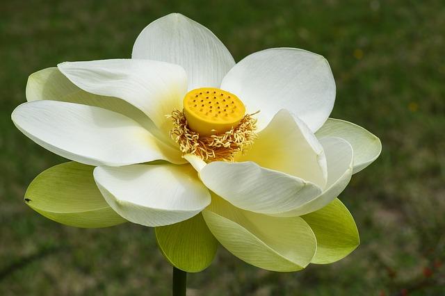 Flor de loto propiedades